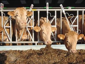 Autocattura per vacche da latte