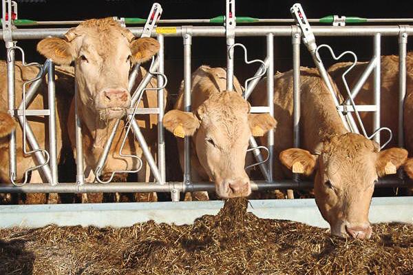 Autocattura vacche da latte