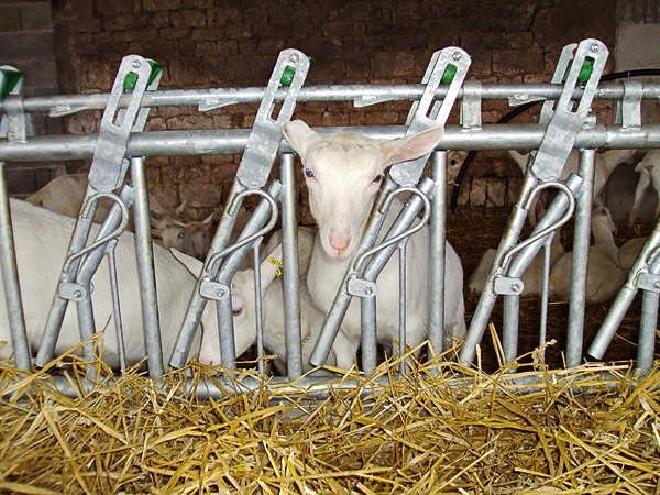 Autocatture per capre
